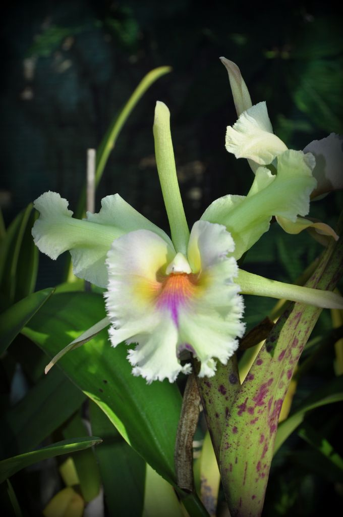 One of the orchids on show at the ultimate orchid show.