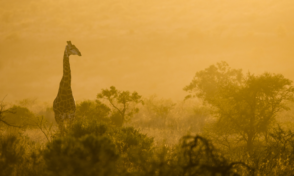 A giraffe at Nambiti Private Garden Reserve.